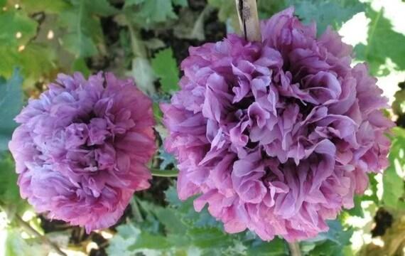 graines de pavot pivoine pourpre grandes fleurs pour votre. Black Bedroom Furniture Sets. Home Design Ideas