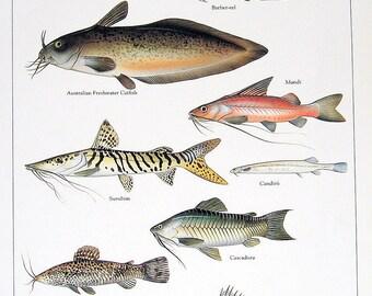 Australian Catfish, Barber-eel, Mandi, etc. Vintage 1984 Fish Book Plate