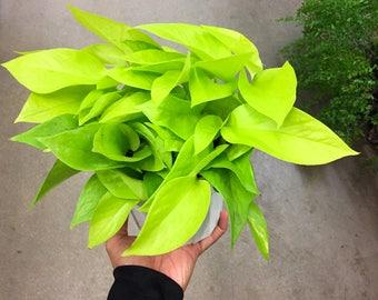 "Large Neon Pothos 6"" Pot House Plant Epipremnum Aureum Neon Chartreuse Leaves Devils Ivy Pothos Epipremnum Very Easy to Grow Indoor Plants"