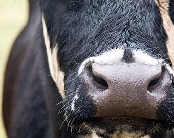 Unique COW Photography, Black & White COW Photo, 16 X 24 Print. Nature, Cow Nostrils, Nose, Head, Face, Skin, Australian Cow in Field Photo
