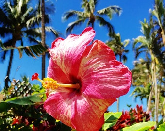 "Digital photo Hawaii landscape ""Hibiscus ""----Apa Gallery Artwork"