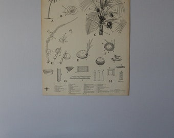 Vintage Coconut Palm classroom chart from Turtox, General Biological Supply House