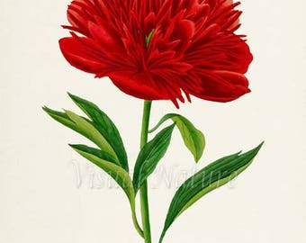 Red Peony Flower Art Print, Peony Botanical Art Print, Flower Wall Art, Flower Print, Floral Print, Home Decor, red, green