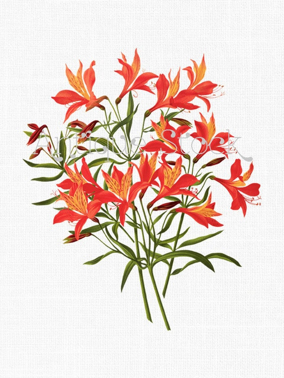 Orange Flowers Clip Art Peruvian Lily Old Botanical Illustration Instant Download For Prints Decoupage Collages Invites Cards From AntiqueStock On