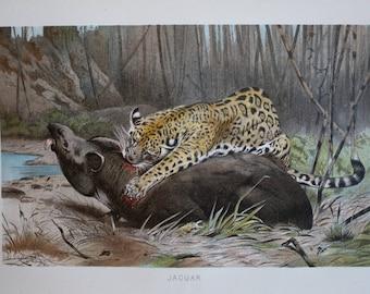 old print jaguar and tapir 1895