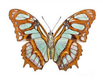 ONE Real Butterfly Green Siproeta stelenes Malachite verso