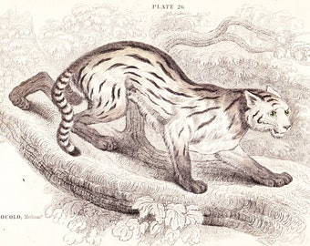 The Colocolo Cat (Felis Colocolo) Antique Print . original old vintage hand coloured feline art engraving dated 1834