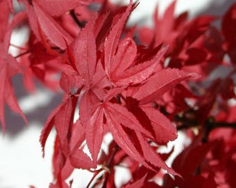 Twombleys Red Sentinel Japanese Maple Tree