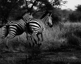Art Photograph--Zebras--Gifts for men women, for her, him, black and white, minimal, nature, decor, wall art, prints, kids, sarfari