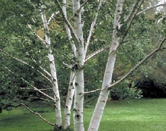 1000 Paper Birch Tree Seeds, Betula Papyrifera