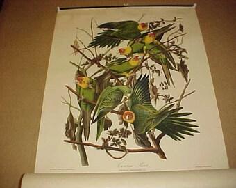 Lithograph Audubon Bird Print Carolina Parrot From 1949 Calendar