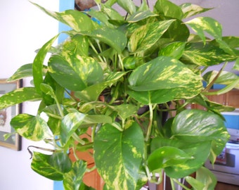 Top Ten Air Cleaning Golden  Pothos Three cuttings