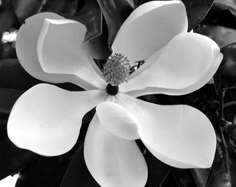 Nature Photography - Southern Magnolia in Black and White - Flower, Floral, Plant, Monochromatic, Modern, Garden, Fine Art Photography