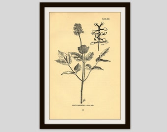 "Rustic Flower Print, Wildflower Art, Antique Botanical Illustration, Neutral Color Decor, 5 x 7.75"", Vintage Wall Art,  White Baneberry (35)"