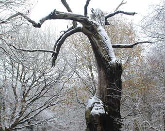 Still Standing After All These Years.  Twisted Old Sherwood Oak Tree in Sherwood Forest.  Photographic Print in A4, A3 or A3+