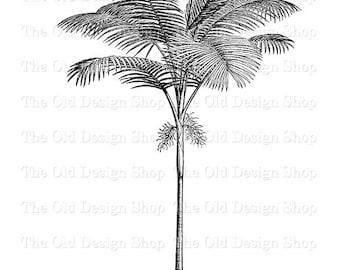 Palm Tree Clip Art Vintage Printable Botanical Ptychosperma Cunninghamiana Illustration Digital Download PNG JPG Image