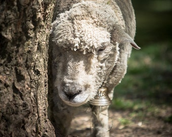 Nature Photography - Sheep at Cuttalossa Road, Solebury, Pennsylvania