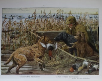 antique print showing chesapeake retriever, curly coated retriever and irish water spaniel 1927