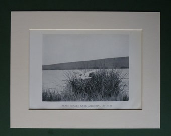Original 1938 Print Of A Black Headed Gull - Nest - Sea - Seaside - Bird - Matted - White - Ornithology - Seagull - Beach