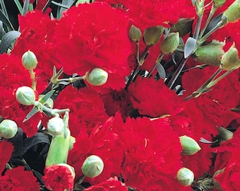 Live Plants-TRAILING CARNATIONS-Winter Hardy, Indoor or outdoor
