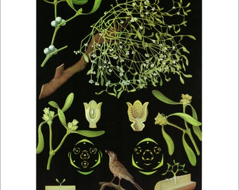 """Vintage Educational Chart Poster Print, Botanical Art Matted to 11"""" x 14"""", Frameable Mistletoe Picture"""