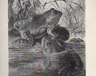 Antique Print 1902 OX FROG, German lithograph original antique print