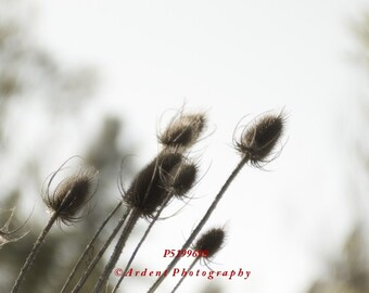 Thistle Springtime Subtle Photographic Art Eclectic Nature Images for Your Walls - The Blessed Thistle - A Fine Art Photograph