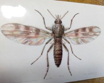 Culicoides impunctatus A4 size limited edition print