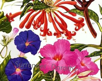 Mandivilla Frangripani Trumpet Flower Central South America Botanical Exotica 1969 Vintage Illustration To Frame 180