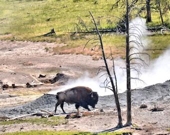 Bison and Geyser, Woodland, Wildlife Photography, Fine Art Photography