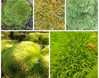 Live Moss 2 gallon sample pack, best value , , Wedding decor, pixey garden, fairy garden, moss art, moss wall art, moss wall