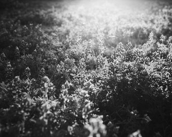 Texas Bluebonnet Sunset BW, nature photography, landscape photography, Bluebonnet Art, nature decor, flower print, texas blue bonnet art
