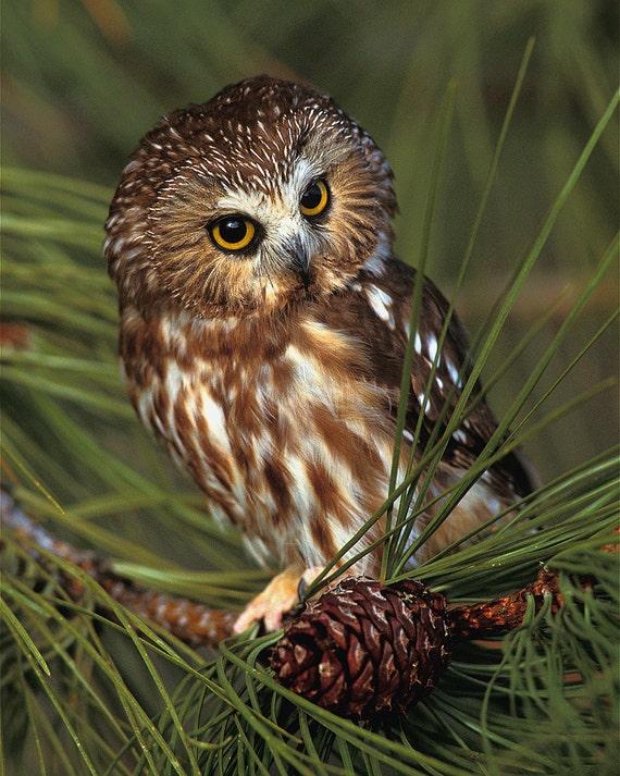 Saw Whet Owl 8x10 Wild...