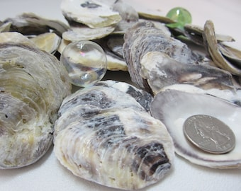 Beach Decor Oyster Seashells - Nautical Common Purple Oyster Shells, 24PC