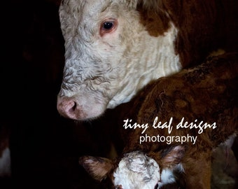 Momma and Baby Calf 5x7 Original Photograph Matted to 8x10