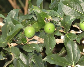 25 Seeds Strychnos potatorum , Clearing Nut Tree Seeds,