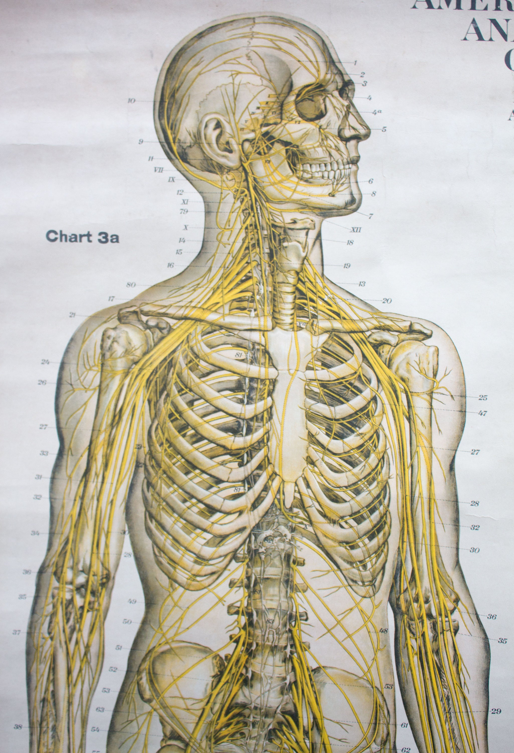 Funky Anatomy Charts Australia Composition - Anatomy and Physiology ...