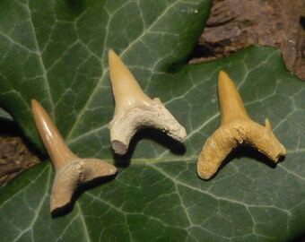 Set of Fossilized Shark Teeth, 1.59g total