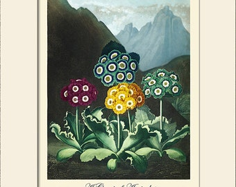 Botanical Print, Auriculas Art Print, Note Card, Temple of Flora, Thornton, Art Print with Mat, Natural History Print, Wall Art, Wall Decor