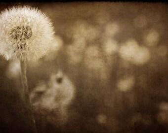 dandelion puffball nature photography summer fine are photography home decor nursery decor