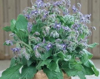 Herb  Plant, Borage