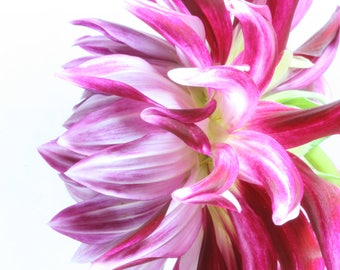 Flower Photo, Pink Dahlia, Flower Photography, Floral Photo Prints, Botanical Fine Art Print, Floral Photography, Studio Photography