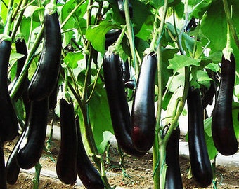 30 Eggplant Seeds Solanum Melongena Aubergine Organic Vegetables TG1