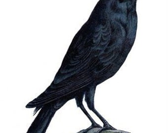 Crow - temporary tattoo