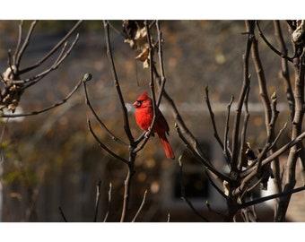 Bird Photography Cardinal in a Tree at Sunset Fine Art Photography Print Wall Art Home Decor