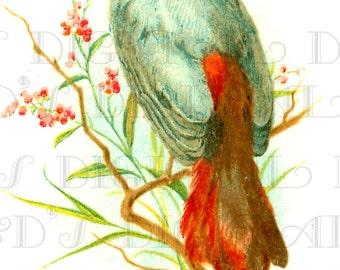 Beautiful Blue Green BIRD With Red Tail!  Vintage Bird Illustration.  Digital Bird DOWNLOAD. Printable Bird Image.