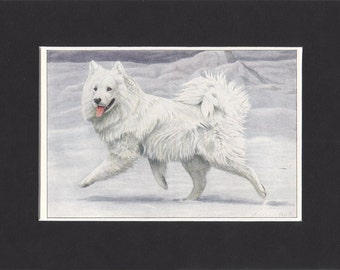 Samoyed 1919 Vintage Dog Print by Louis Agassiz Fuertes Small Vintage Print of Painting Mounted with Mat - Samoyed Print, Samoyed Dog Print