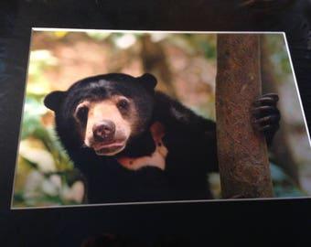 "Sun bear in the shade - Mounted Wildlife Photo Print (8"" x 6"")"