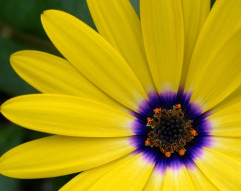 Yellow Osteospermum Photo Card