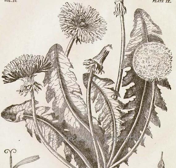 Dandelion flower plant liontrodon taraxacum 1892 victorian ccuart Image collections